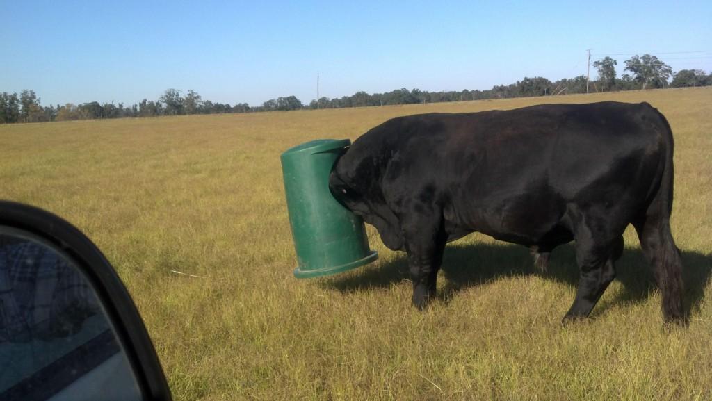 Stuck Cow